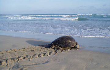 Galapagos green turtle returning to sea. Photo: Patty Zarate