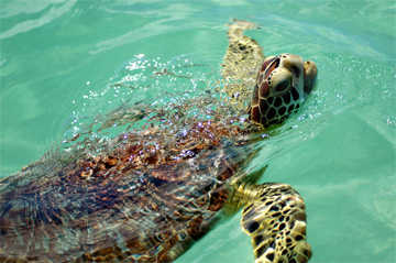 Juvenile green turtle. Photo: Olga Stokes