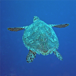 Hawksbill. Photo: Sandy Voegeli