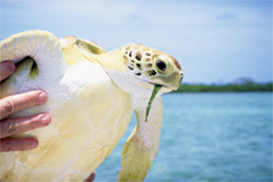 Green turtle. Photo: Karen Bjorndal