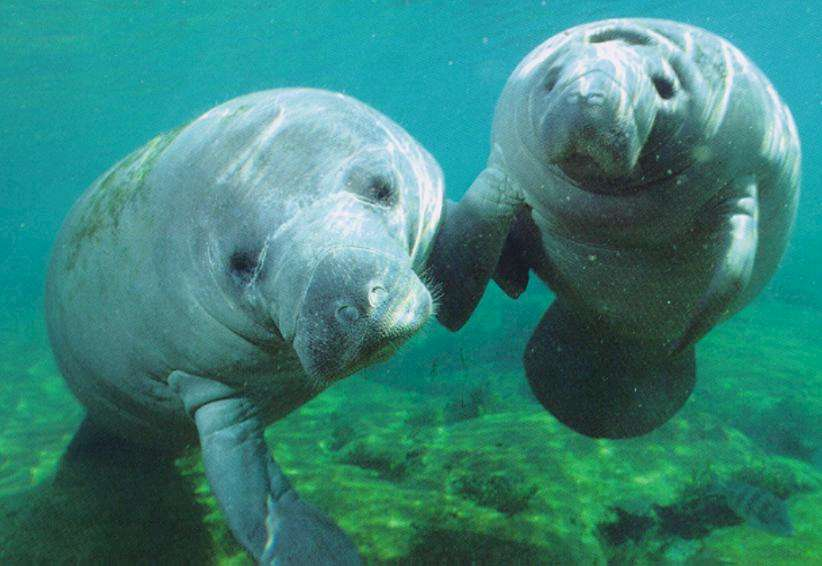 Swim with manatees at the Manatee Springs State Park!