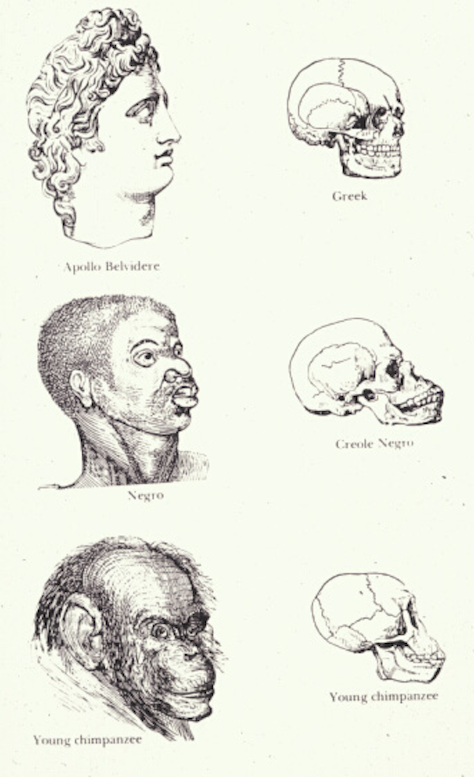 19th century drawing portraying a comparison of skulls of human races and chimpanzees