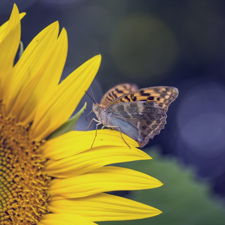 Miracle and beauty of nature - brown butterfly sitting on a petal of beautiful blooming yellow sunflower growing outside in a sunny nature, with retro filter effect.