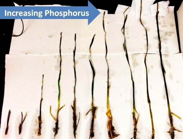 Seagrass shoots from sites along a phosphorus gradient
