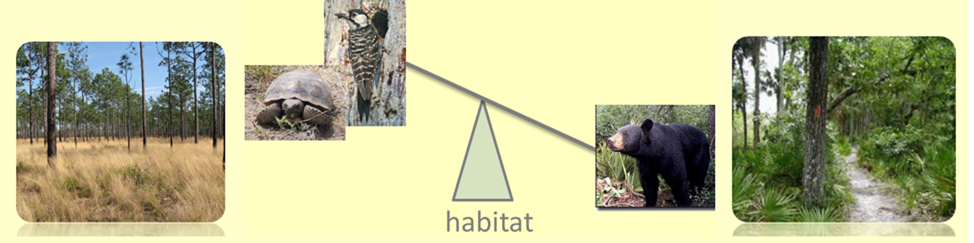 Potential tradeoffs exists between habitat occurrence of gopher tortoise, red-cockaded woodpecker, and Florida black bear. Image of restored longleaf (left) and unrestored hammock (right).
